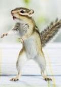 killer siberian chipmunk
